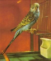 pappagallino.jpg